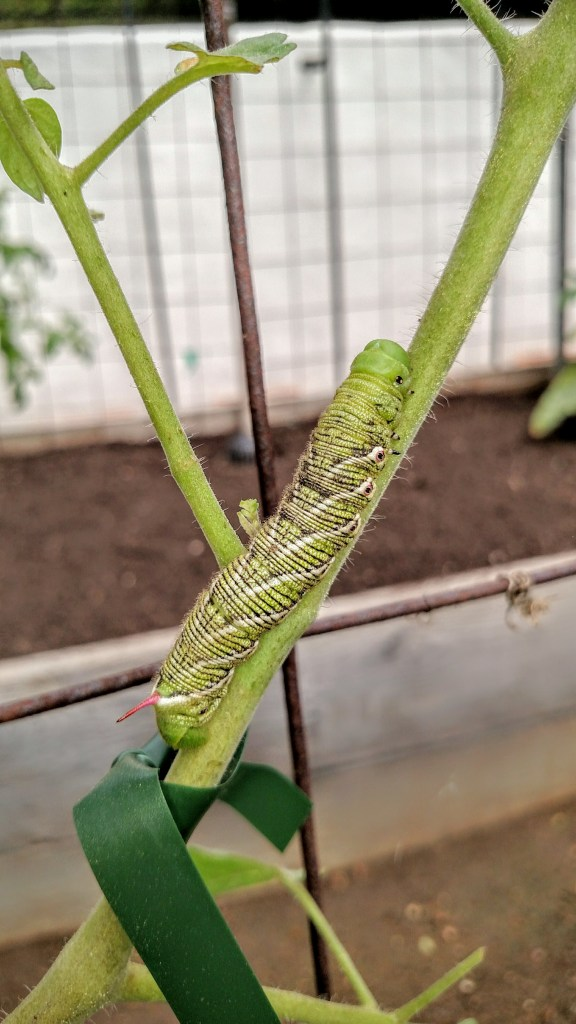 tomato hornworm on tomato plant