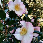 December Bloomer:  Camellia Sasanqua