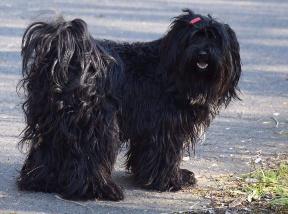 Maxi Tibet Terrier von der Xantener Wassermühle