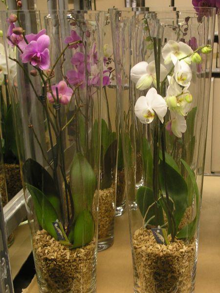 Phalanopsis arrangemang i hg glasvas