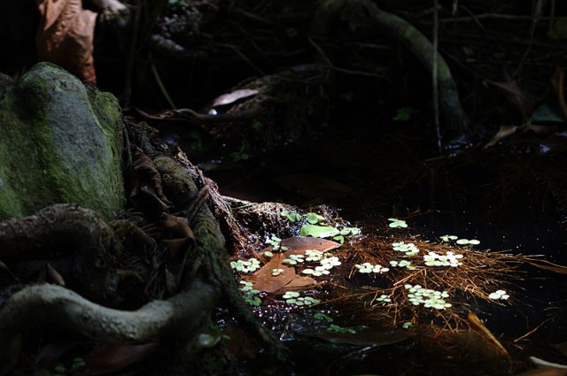 De l'eau et quelques plantes aquatiques aux racines d'un arbre