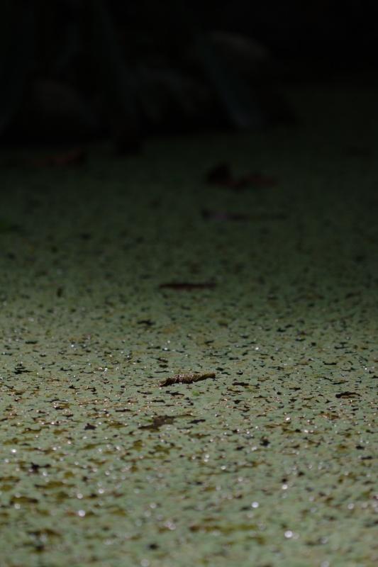 Feuille morte sur un tapis lentilles d'eau