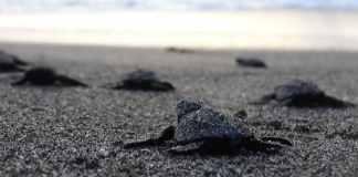 Nicaragua schildpadjes