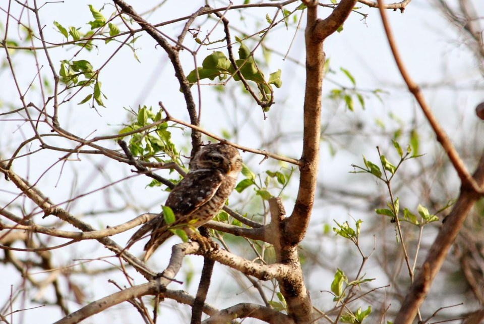 Gir Forest National Park: Spotted Owl