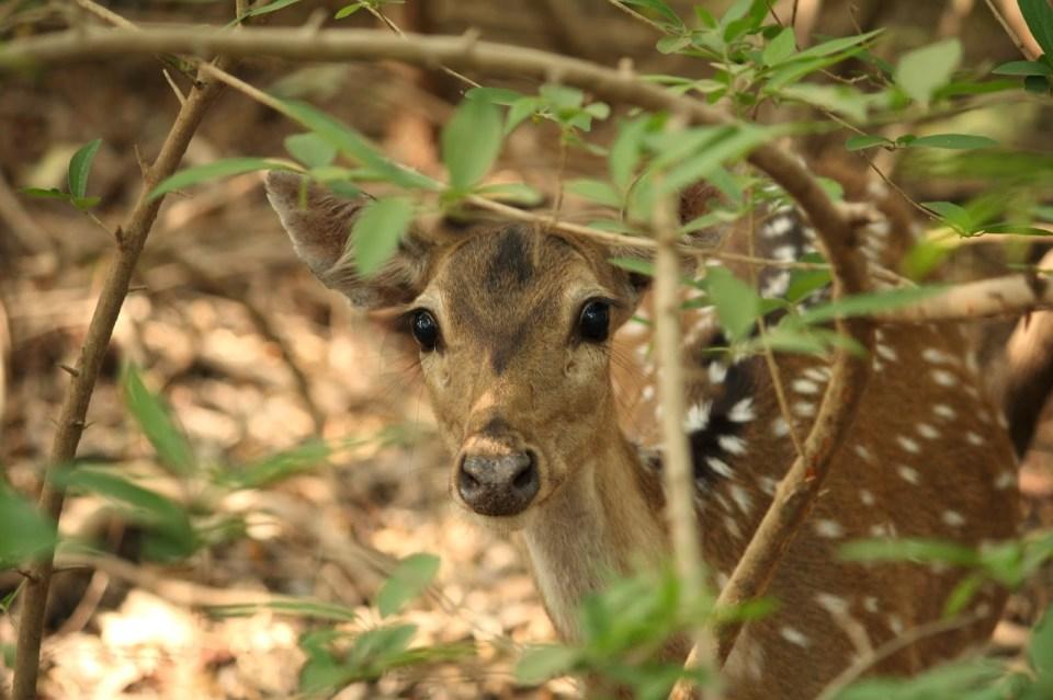 Gir Forest National Park: Spotted deer