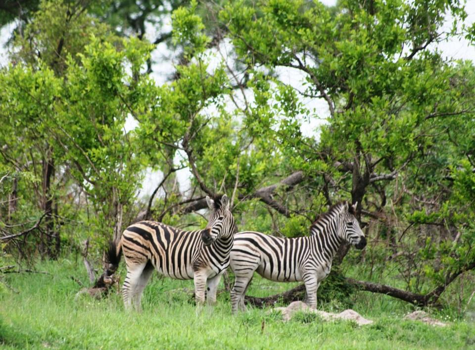 Kruger National Park: Zebras - spot the difference!