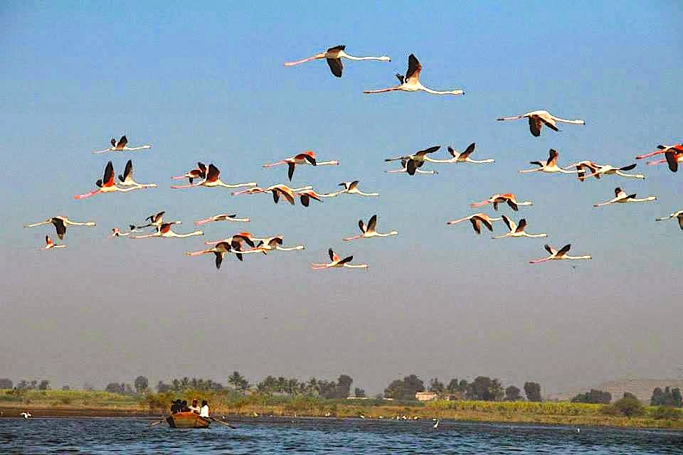 Bhigwan: Flamingos flying