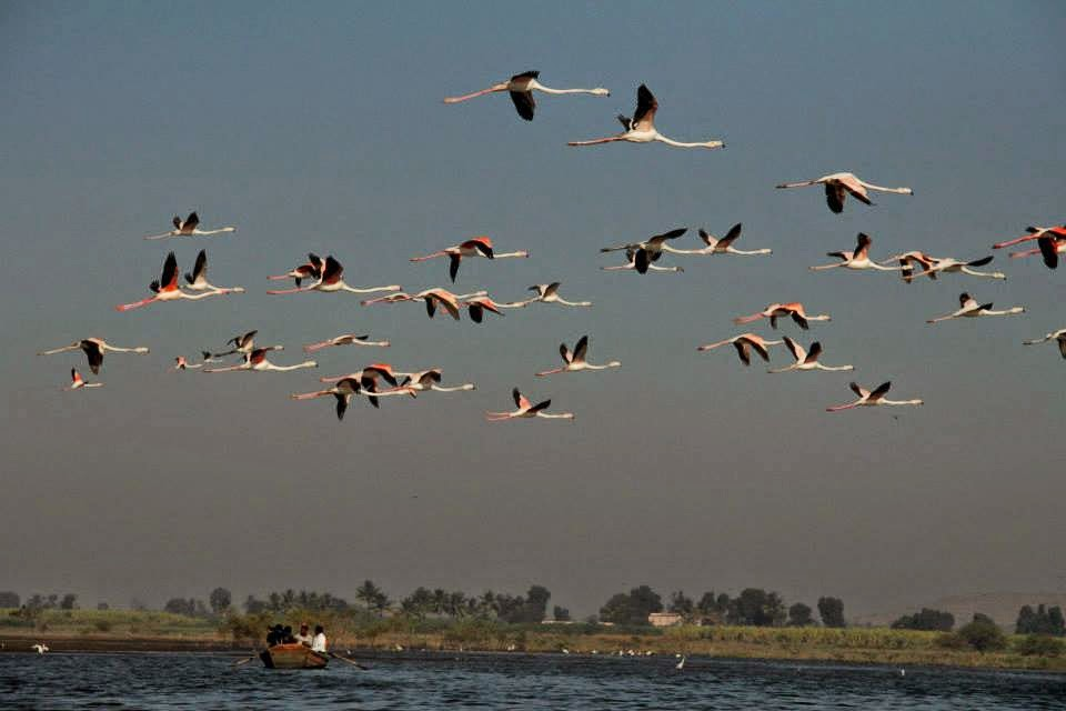 Flamingos in flight