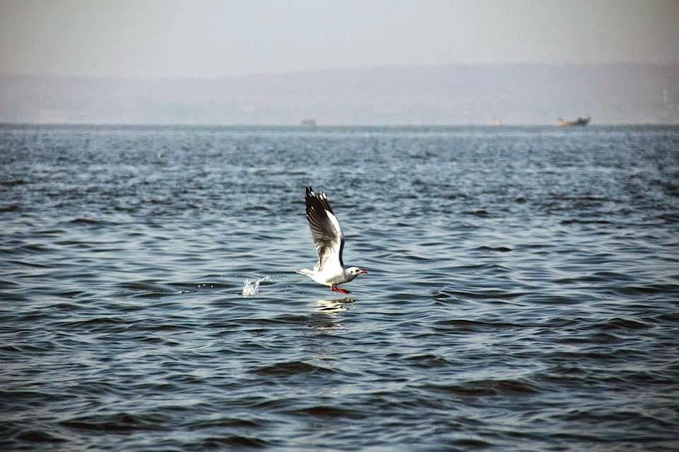 Bhigwan -Seagull