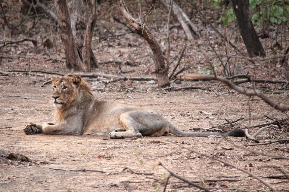 Gir: Asiatic lion