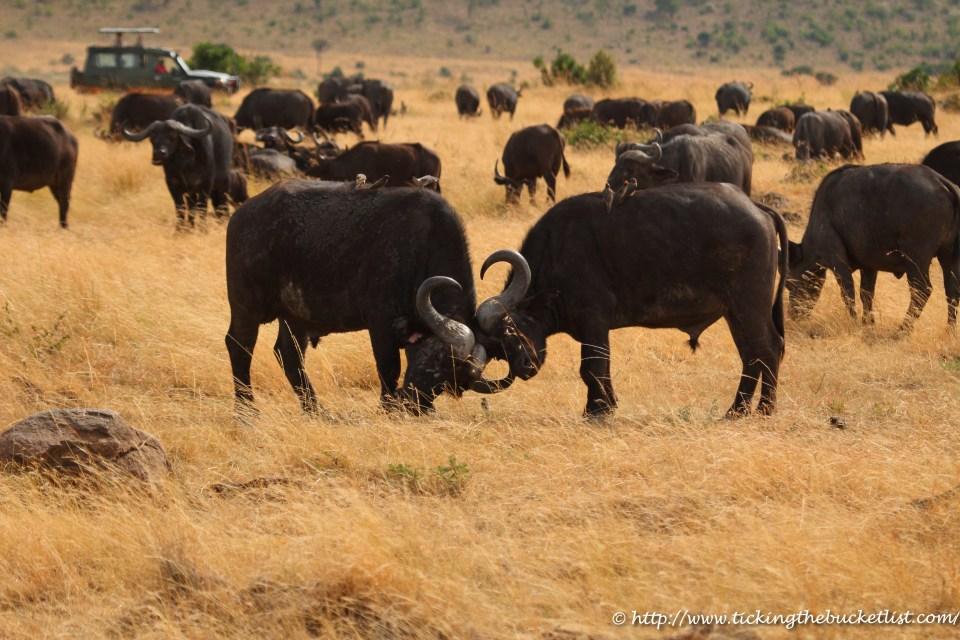 Cape Buffalo Masai Mara (1)-1