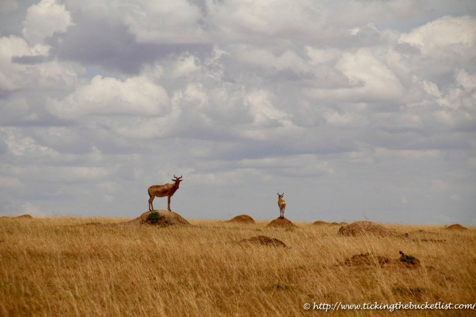 Hartebeest on ant-hills