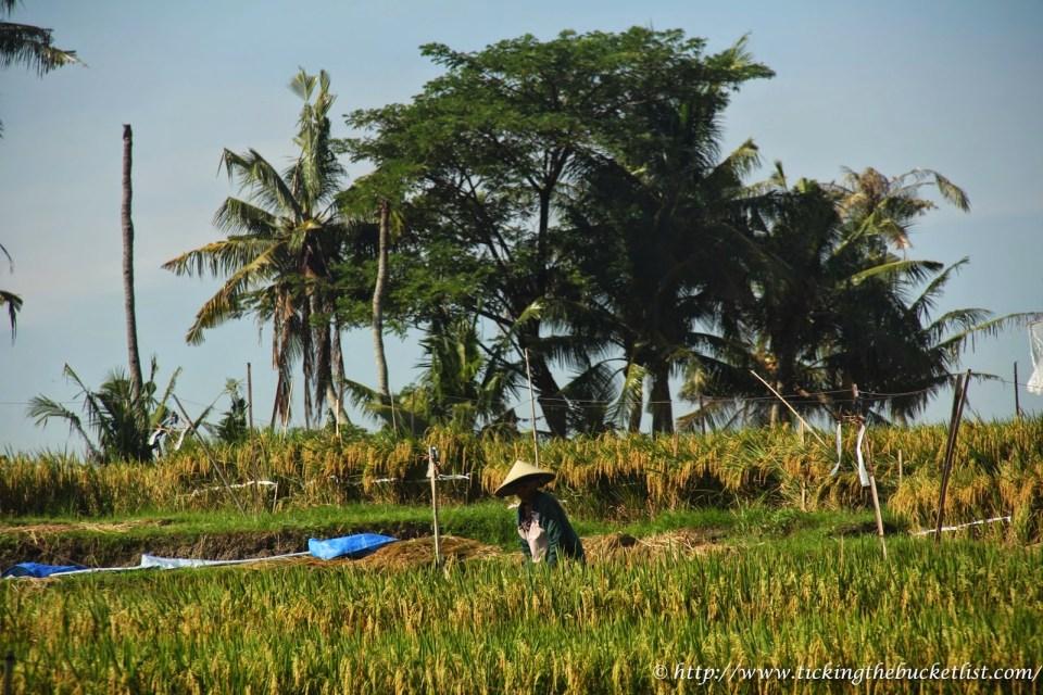 Rice Field-1