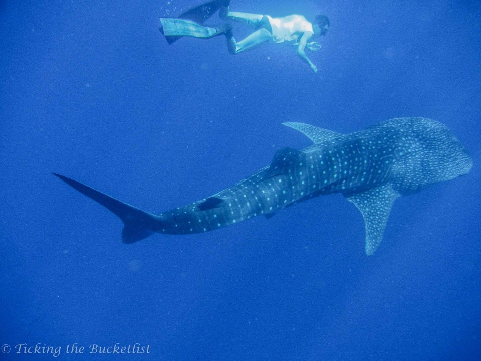Snorkeling with a whale shark