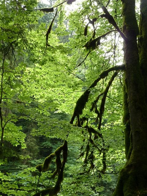 im Eistobel - moosbewachsener Baum