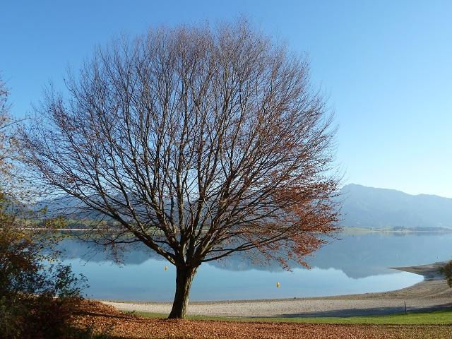 Herbstfarben: Baum am Forggensee