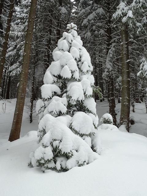 Fichte im Schneemantel
