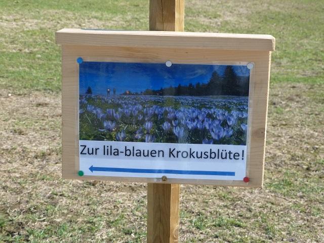 Hinweisschild am Hündle zur lila-blauen Krokusblüte