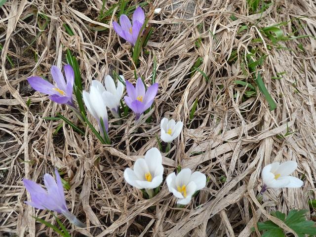 weiße und lila Krokusse zwischen dürrem Gras