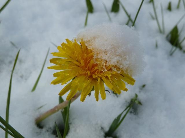 blühender Löwenzahn im Schnee