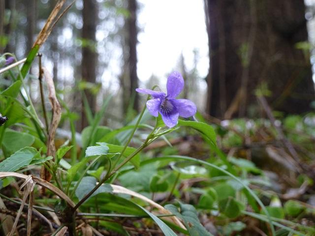 blühendes lila Waldveilchen