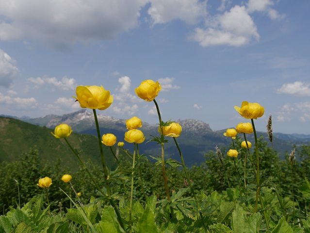 blühend - Trollblumen am Fellhorn