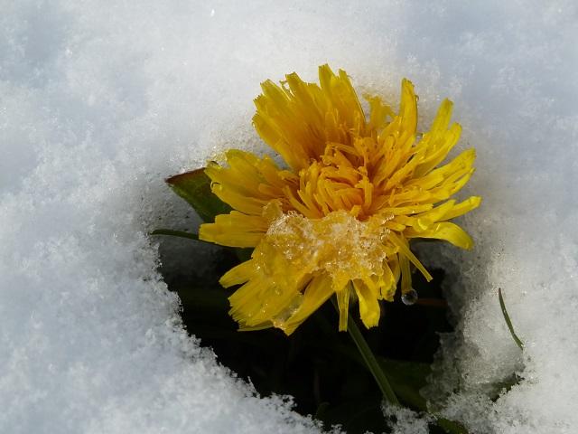 ungewöhnlich - Löwenzahnblüte im Schnee