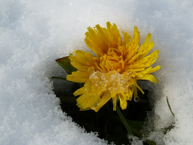 ungewöhnlich - Löwenzahnblüte im Schnee #FopaNet