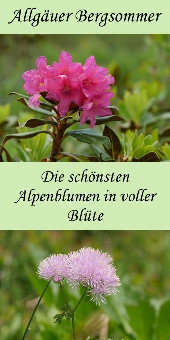 Allgäuer Bergsommer - die schönsten Alpenblumen von der Alpenrose bis zur Wiesenraute