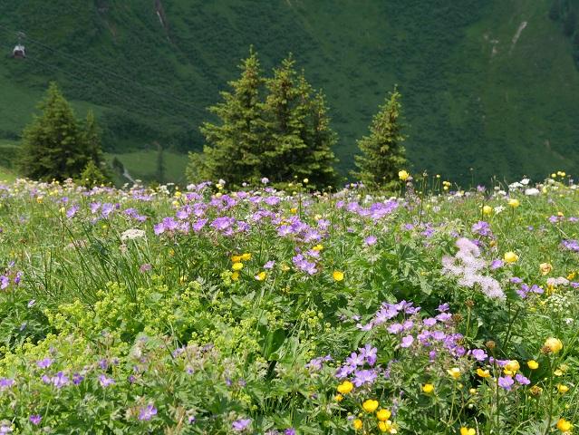 blühende Bergblumenwiese an der Kanzelwandbahn