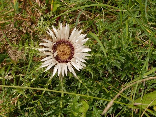 Silberdistel (Carlina acaulis) - eine der schönsten Alpenblumen