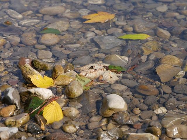 herbstlich-bunte Blätter auf den Flusskieseln der Iller bei Immenstadt