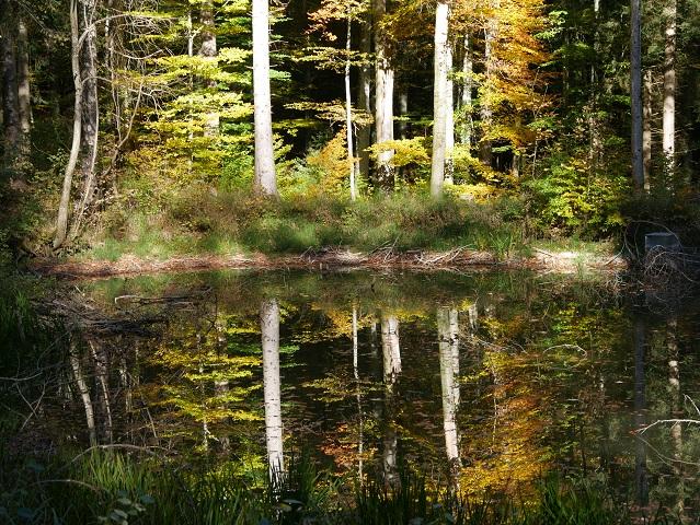 Spiegelung von Herbstwald bei Schloss Liebenthann in einem Tümpel