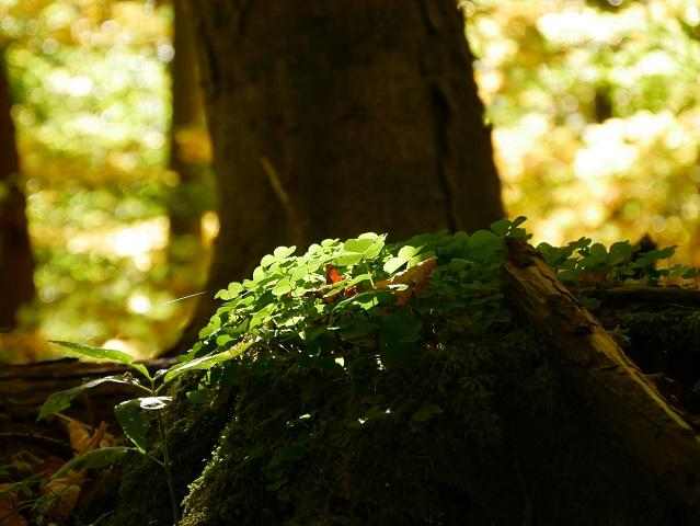 Klee auf einem Baumstumpf im Wald im Sonnenlicht