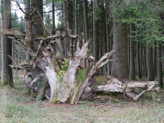 Wurzel am Elbsee-Rundweg
