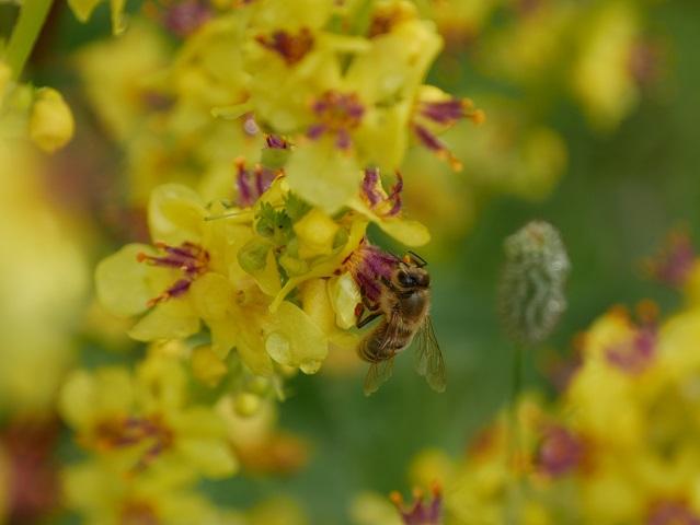 Nahaufnahme - Biene an Königskerze #FopaNet