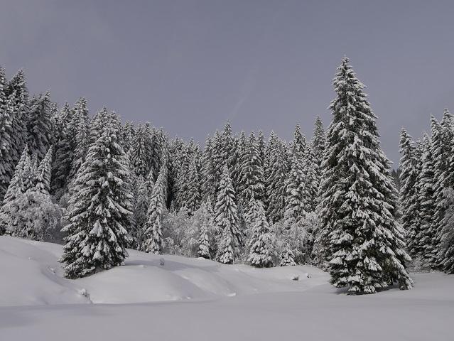 verschneiter Fichtenwald in den Allgäuer Alpen