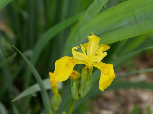 Heimische Sumpf-Schwertlilie (Iris pseudacorus)