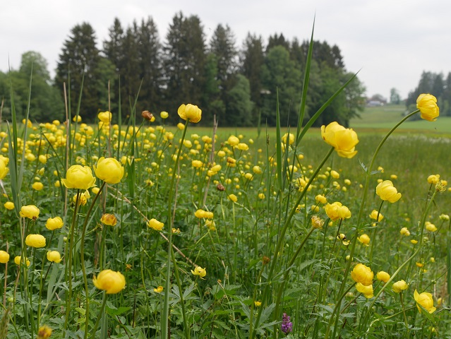 Trollblumen am Rundweg Werdensteiner Moos