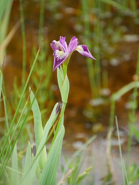 Verschiedenfarbige Sumpf-Schwertlilie (Iris versicolor)