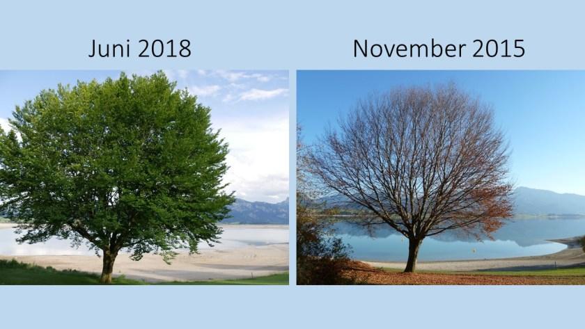 Baum am Forggenseestrand 2018 und 2015 im Vergleich