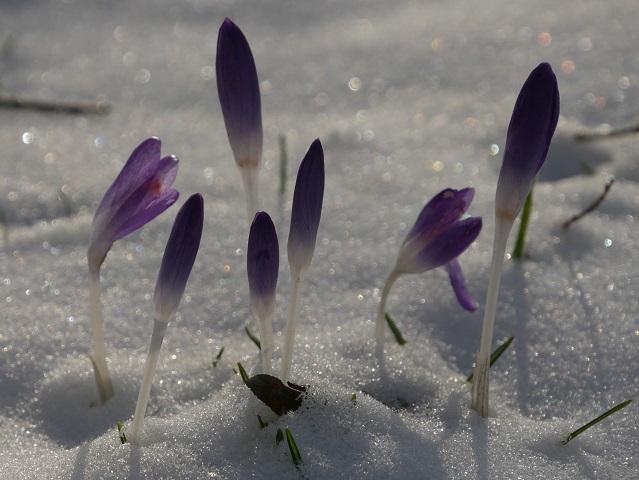 Farbtupfer - Krokus im Schnee #FopaNet