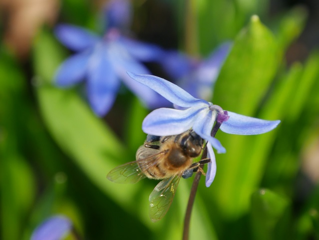 Nahaufnahme - Biene an Blausternchenblüte #FopaNet