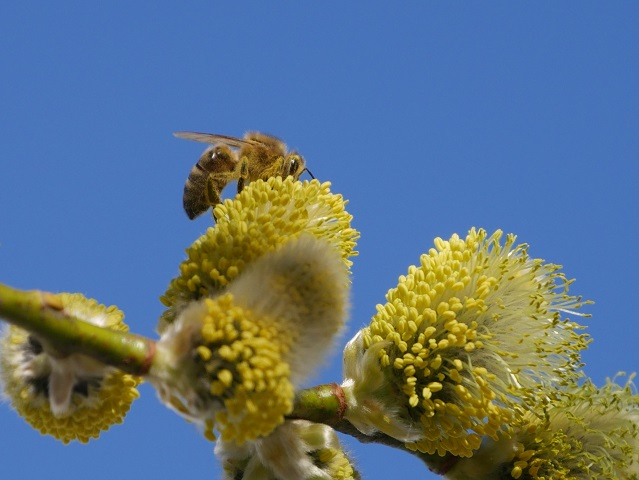 Nahaufnahme - Biene auf Weidenblüte #FopaNet