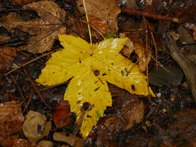 gelbes Ahornblatt im Regen