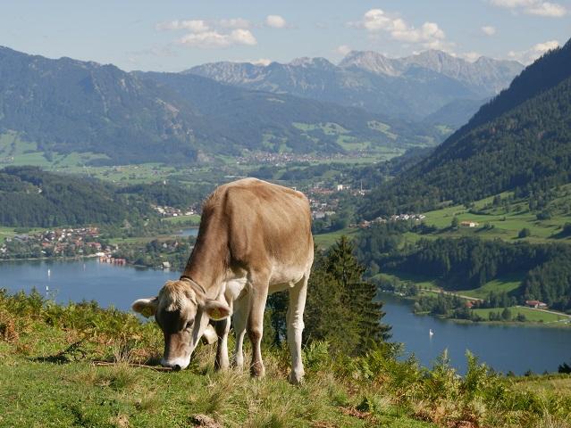 Alpseeblick mit Schumpen