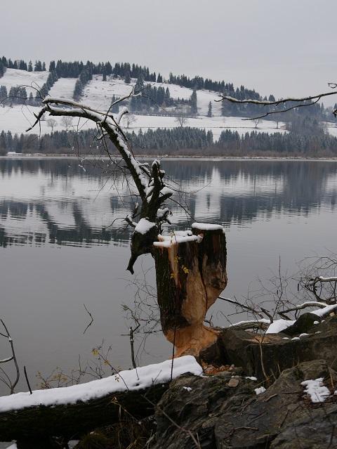 Baumstumpf mit Biberbissspuren