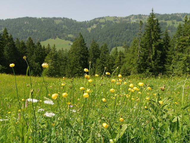 Bergwiese mit Trollblumen bei Balderschwang im Allgäu