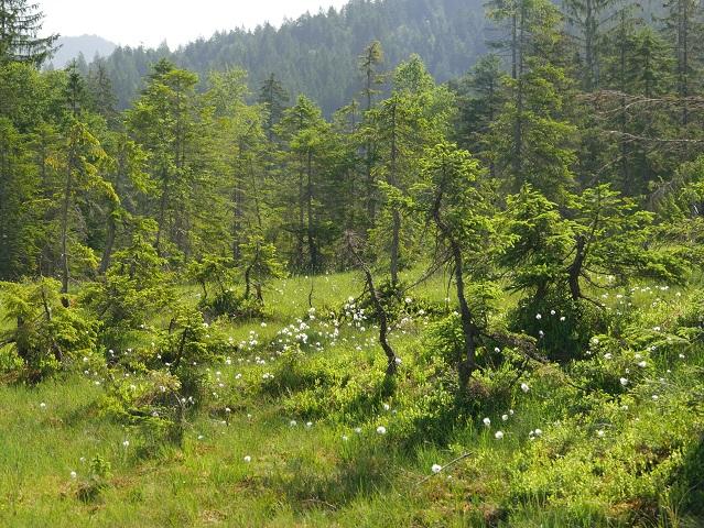 Bergwiese mit Wollgras