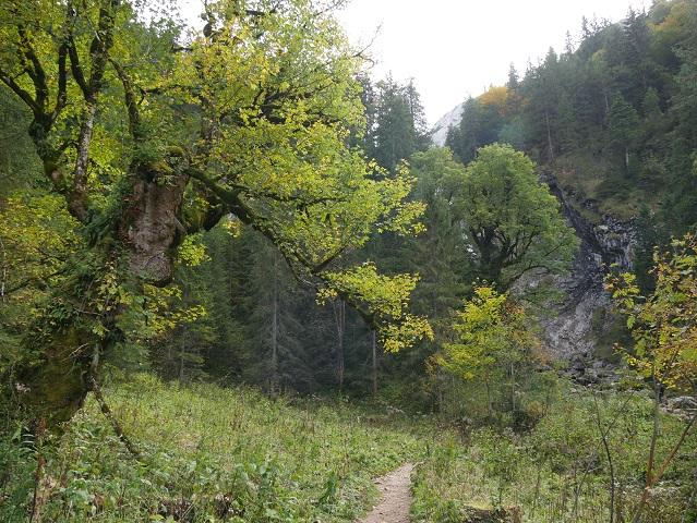 Bergahorn auf dem Weg zwischen Kenzenhütte und Kenzenfall
